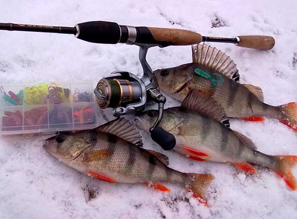 Фото: улов окуней на зимний спиннинг