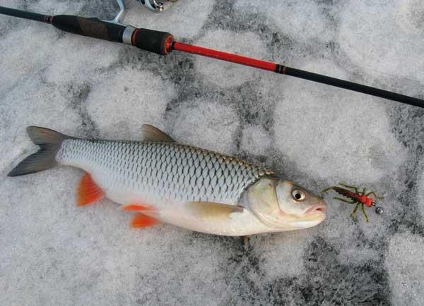 Фото: судак на юге на зимний спиннинг