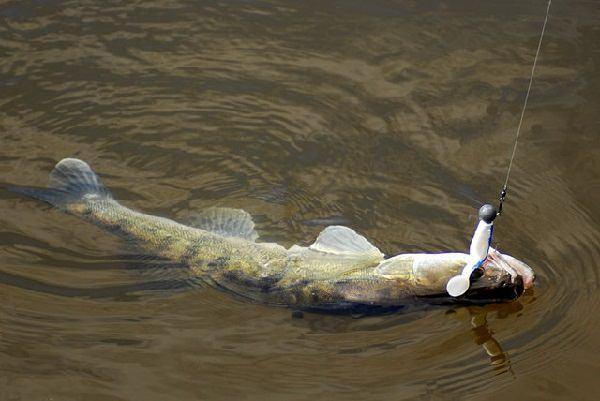Зависимость клева судака от атмосферного давления - Рыбалка на спиннинг